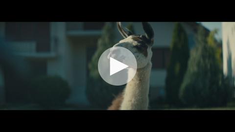 The llama drama